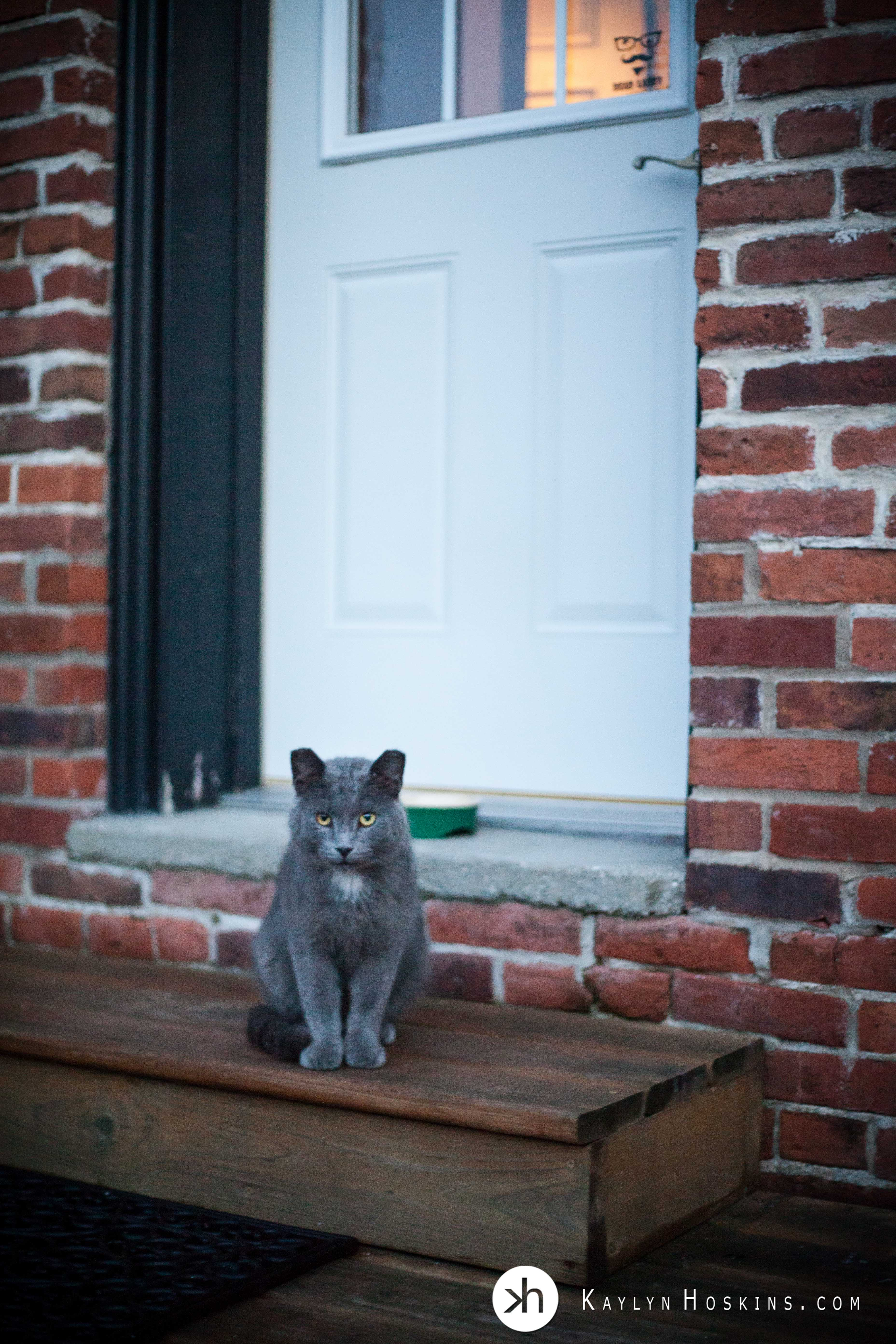 Once feral photography studio cat, Costello sitting outside studio door waiting for food